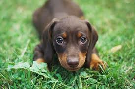 Are Dachshunds Smart Why Theyre Actually Intelligent