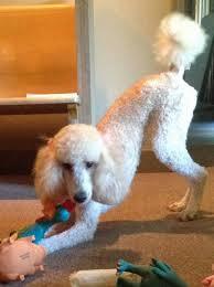 best dog essay ideas english help example of paris the poodle dog essayfluffy