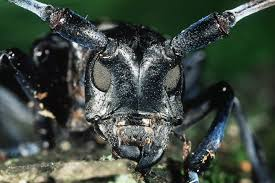Meet The Asian Longhorned Beetle The Governments Tree Terrorist