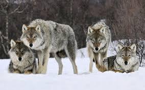 family wolf hd wallpaper wallpaper