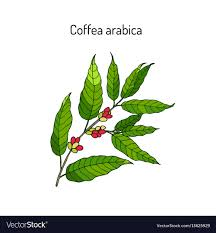 coffee plant illustration vector. Simple Coffee Hand Drawn Coffee Tree Branch Vector Image On Coffee Plant Illustration Vector I