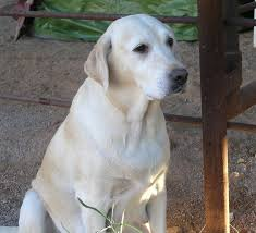 american yellow lab puppies. Simple American About Lilly  AKC Yellow Labrador Retriever With American Lab Puppies L