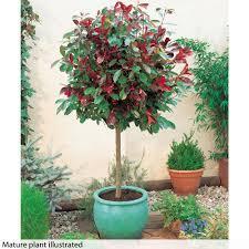 Robins Kitchen Garden City Standard Photinia Red Robin Christmas Gift La Garden