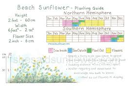 Sunflower Growing Chart Beach Sunflower How To Sow Grow Care For With Images And