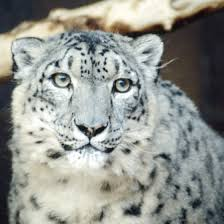 the wildlife in mt everest getaway tips estimates of the number of snow leopards existing in the wild are declining