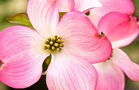 average american flower size growing dogwood 10 tips for caring for dogwood trees