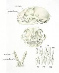 Overview Of Dental Development Digestive System