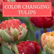 Color-Changing Tulips Have a New Look ...