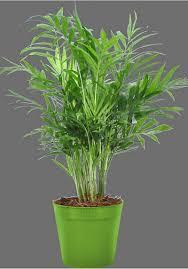 zimmerpflanzen für halbschatten