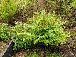 Osmunda regalis (Royal fern)   Native Plants of North America