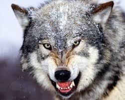 baring teeth dog. bared teeth gray wolf baring dog a