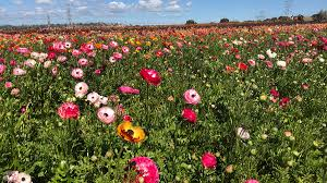 the flower fields at carlsbad ranch open for 2018 season nbc 7 san go