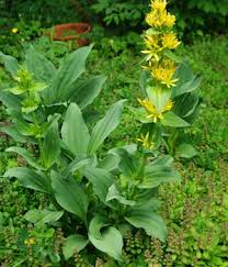 Gentian, Yellow (Gentiana lutea), potted plant, organic | Strictly ...