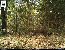 WWF-Thailand - ภาพ: เสือไฟจากกล้องดักถ่ายภาพสัตว์อุทยานแห่งชาติแม่วงก์  เสือไฟเป็นเสือขนาดเล็ก แม้จะมีรูปร่างคล้ายแมวแต่ก็มีขนาดใหญ่พอๆ  กับสุนัขพื้นเมืองของไทย เสือไฟเป็นหนึ่งในสัตว์ป่าคุ้มครอง  ตามพระราชบัญญัติสงวนและคุ้มครองสัตว์ป่า พุทธศักราช 2535 และ ...