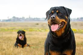 Midwest Icrate Size Breed Chart 5 Best Rottweiler Crates Our 2019 Rottweiler Crate Size Guide
