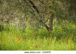 Uncultivated Wild Olive Tree Mediterranean Malta Gozo Stock Photo Wild Olive Tree Fruit