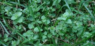 invasive lawn weeds.  Weeds Throughout Invasive Lawn Weeds E
