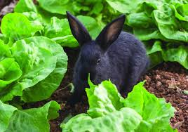 how to keep rabbits out of your vegetable garden