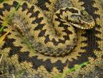 Images & Illustrations of common viper