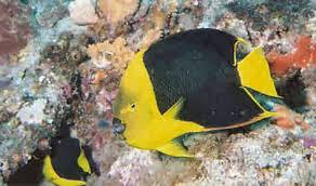 Rock Beauty Angelfish Holacanthus Tricolor Fish Guide And