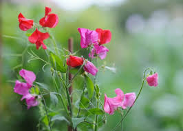 average american flower size sweet peas how to plant grow and care for sweet pea flowers the