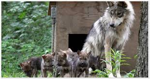 gray wolf pack playing. Modren Playing Mexican Wolves Gray Pack And Wolf Playing E