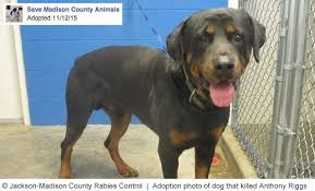 rottweiler dog attacks. jackson rabies control adopted out rottweiler that killed man three hours later dog attacks