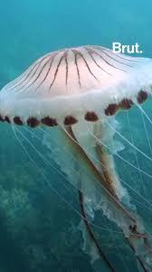 Que faire face aux méduses ? | Brut.