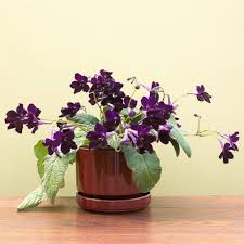 cape primrose or streptocarpus x hybridus is a relative of the african violet if you keep the soil lightly moist and give it bright indirect sun