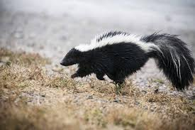 skunk removal cost. Beautiful Skunk The Cost Of Evicting A Skunk Inside Removal W