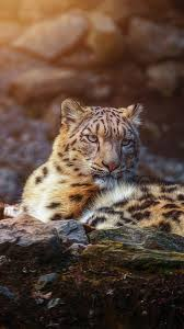 1080x1920 snow leopard, animals ...