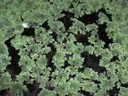 azollaceae