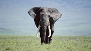 Elephant Wallpapers (66+ background ...