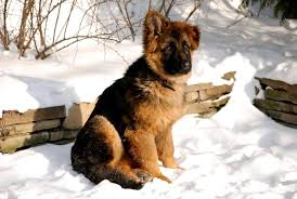 Keep your dogs inside in extreme weather conditions. Can German Shepherds Stay Outside In The Cold Embora Pets