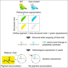 Genetic Mapping And Biochemical Basis Of Yellow Feather