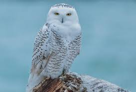 Image result for snow owls