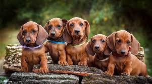 dachshund breed information long