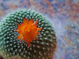 Image result for cactus flower