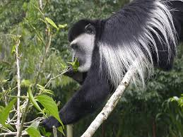 wild animals in african forest. Unique African The Colobus Monkey Is On Our List Of African Jungle Animals Photo Duncan  Wright Wild Animals In Forest B