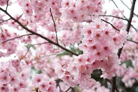 Bunga Sakura 10 Fakta Menarik Mengenai Bunga Sakura