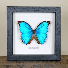 Box Picture Frame Menelaus Blue Morpho Butterfly In Box Frame Morpho Menelaus