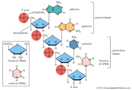 Functions Of Nucleic Acids Nucleic Acid Definition Function Structure Types