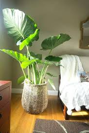 indoor large plant pots shining big house plants best ideas on indoor large white indoor plant indoor large plant