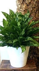 low maintenance office plants. Best Office Plants Without Light Design No Small Desk Sunlight Low Maintenance P