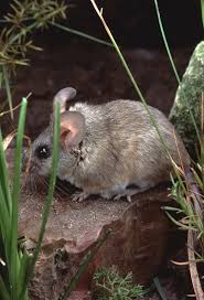 Rodents Lower Classifications Critters Of Southern Arizona Science Tucson Com