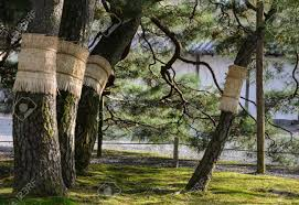 japanese pine tree garden with moss on ground in kyoto japan stock photo 76960568