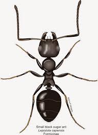 Tiny Black Ants Kitchen Small Orange Ants Kitchen Quicuacom