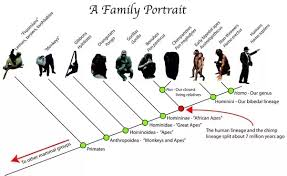 Ape Evolution Chart In Human Evolution The First Stage Is The Monkey And Last