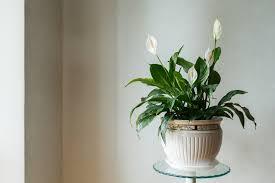 Кои стайни растения носят късмет. 10 Toksichni Stajni Rasteniya Opasni Za Snimki ᐉ Novini Ot Fakti Bg Lyubopitno Fakti Bg