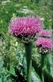 Rhaponticum scariosum - Legge regionale 10 - Flora e piccola ...